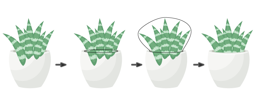 placing Howorthia Fasciata leaves in the flower pot