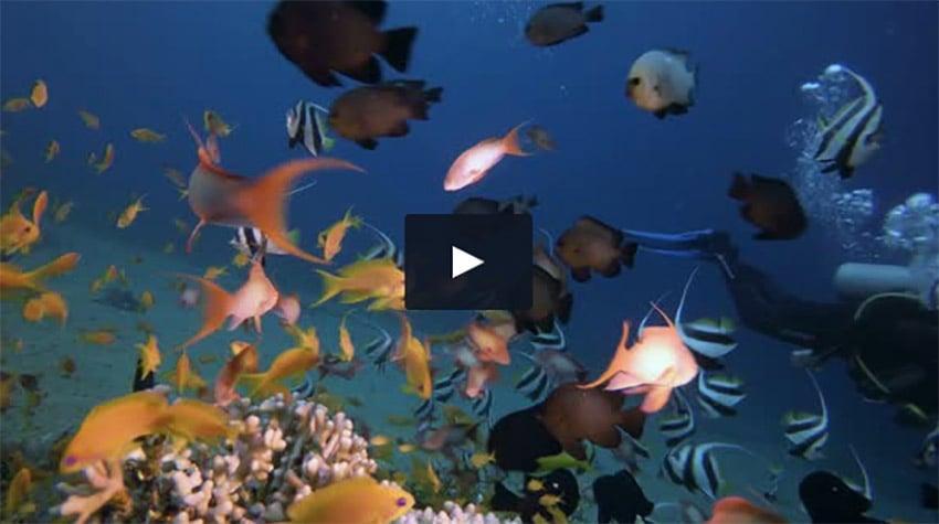 Tropical Coral Garden with A Diver