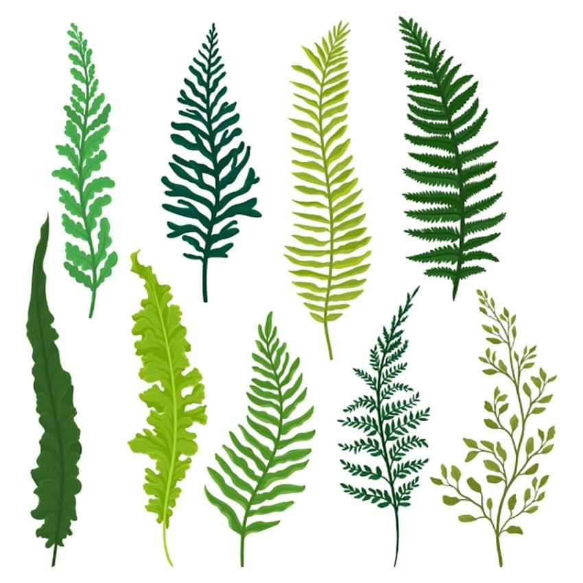 Fern Botanical Illustration