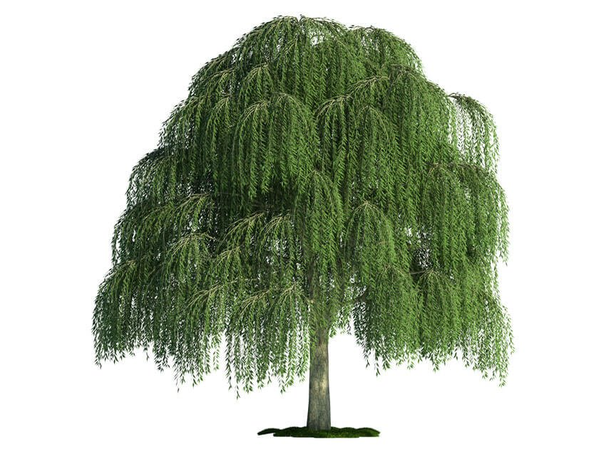 Isolated Tree on White Willow salix