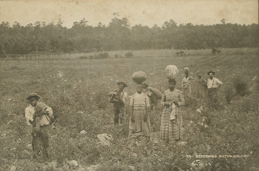 Men and women in a field gathering watermellons