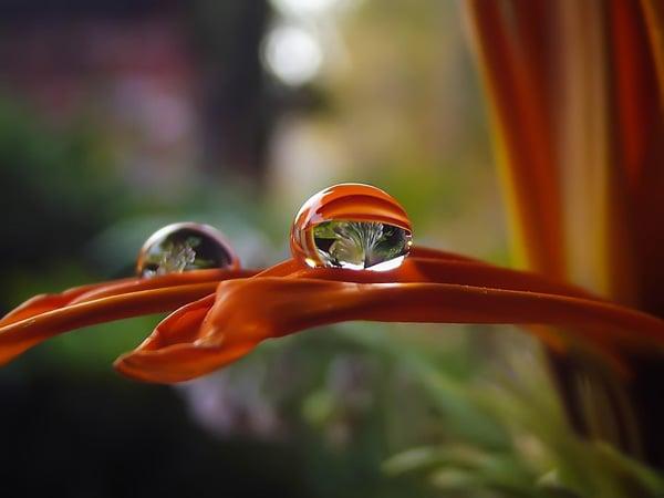 drop pn petal