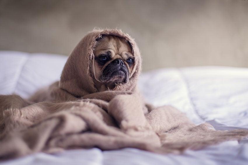 pug in towel