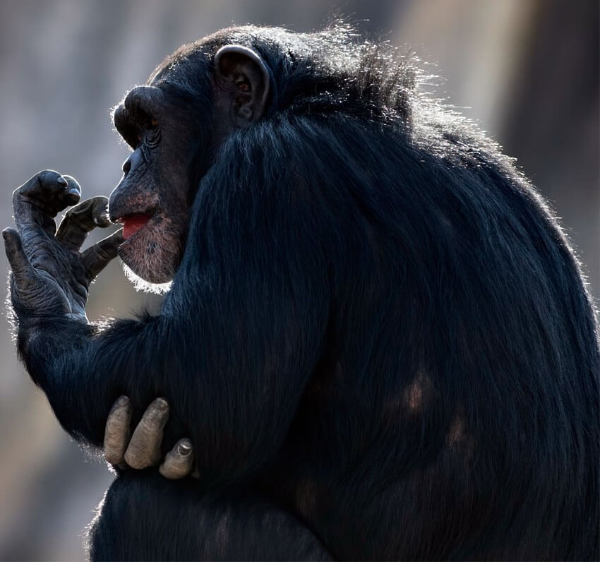 PhotoDune Image - Chimpanzee by macropixel