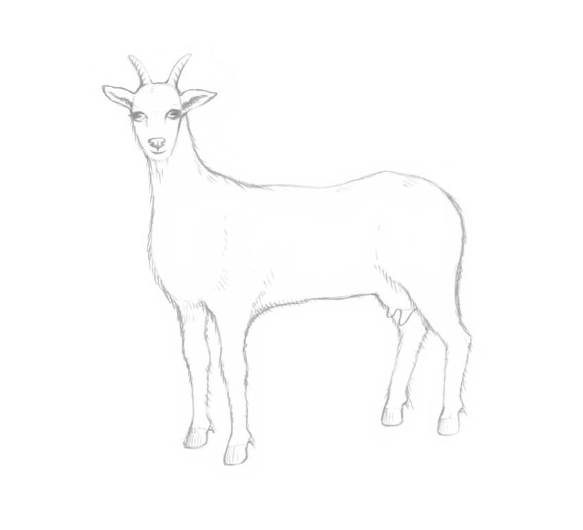 Drawing the udder