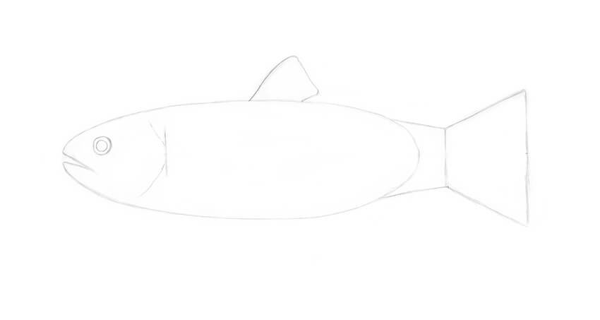 Drawing the front dorsal fin