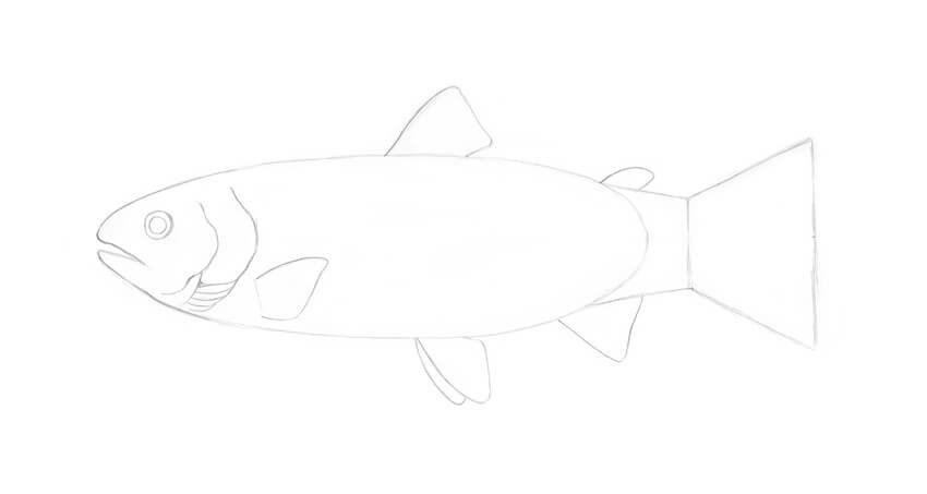 Drawing the gill covers and details of the head