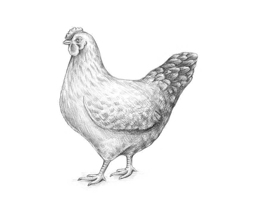 A complete sketch of a female chicken