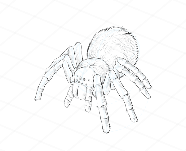 How To Draw Animals Spiders Popular Species Anatomy And