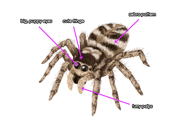 How to Draw Animals: Spiders, Popular Species, Anatomy and Movement