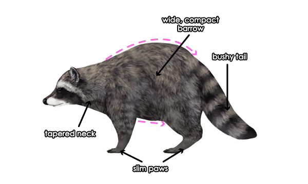 how to draw raccoon