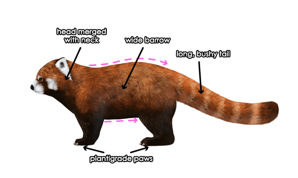 How to Draw Animals: Red Pandas and Raccoons