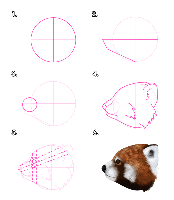 Drawing the red pandas head profile