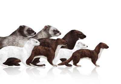 Preview for How to Draw Animals: Weasels, Stoats, Minks, Polecats and Ferrets