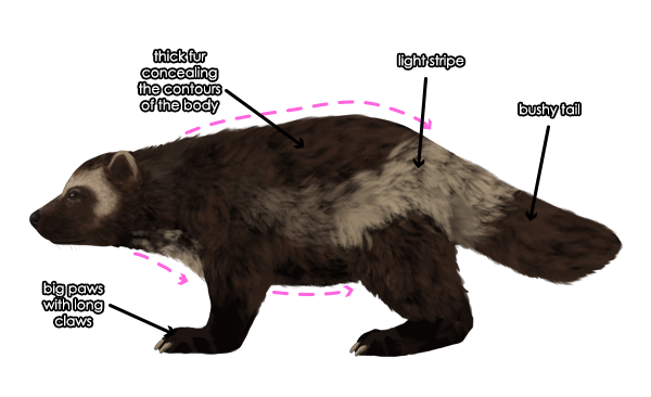 how to draw the wolverine
