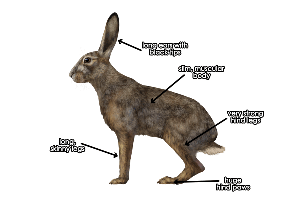 how to draw animals hares and rabbits