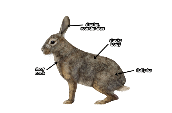 Difference Between Hare and Bunny Rabbit