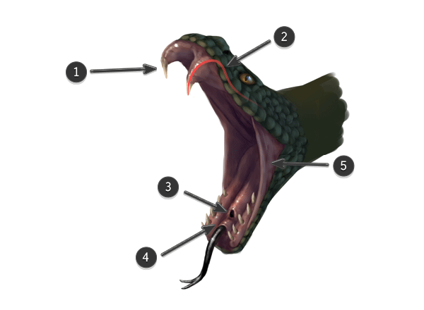 Snake mouth anatomy
