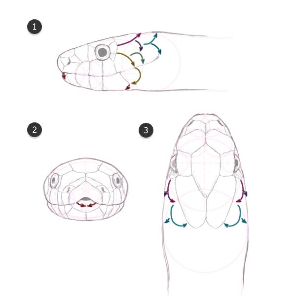 direction des écailles du cou