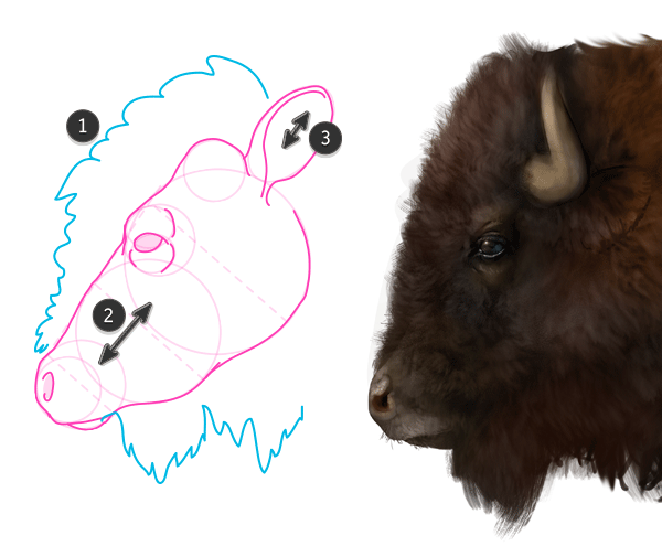 Bison a Bison 39 s Head is a Cow 39 s Head