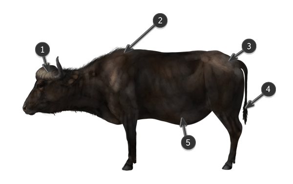 how to draw cape buffalo
