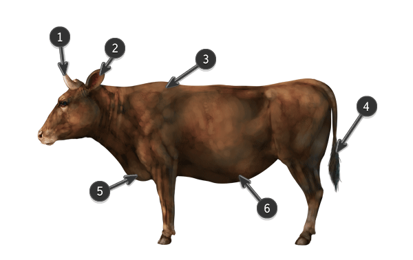 how to draw cow