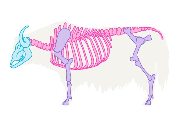yak skeleton
