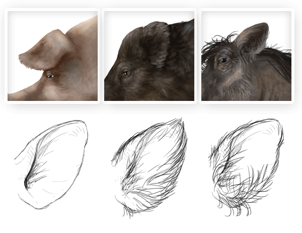 pig wild boar warthog ears difference