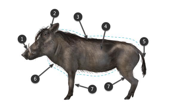 warthog body