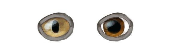 sharke eyes