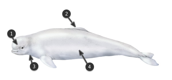 beluga body profile