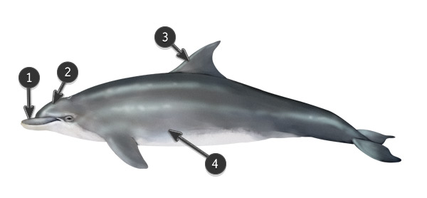 bottlenose dolphin body profile