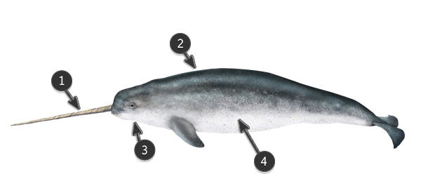 narwhal body profile