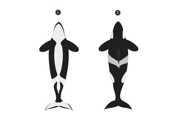 killer whale pattern