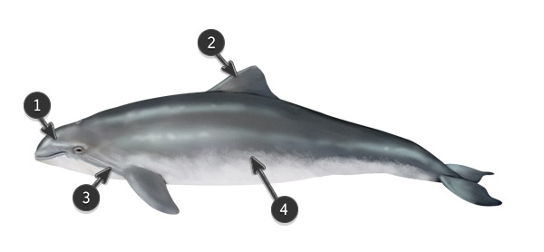 porpoise body profile