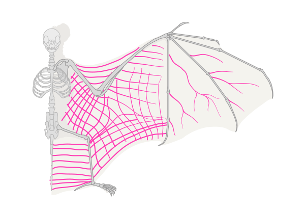 how to draw bat wings veins fibres