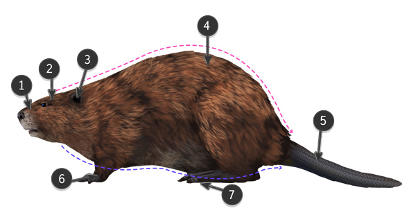 how to draw beaver body
