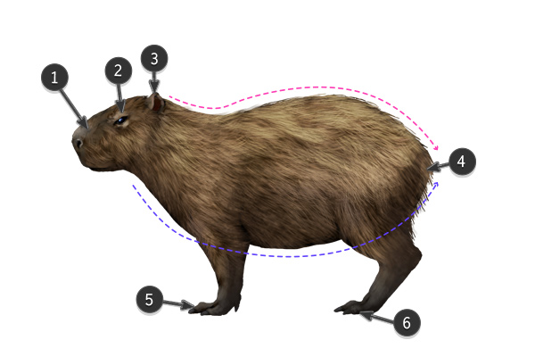how to draw capybara body