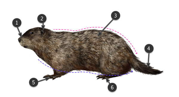 how to draw groundhog body