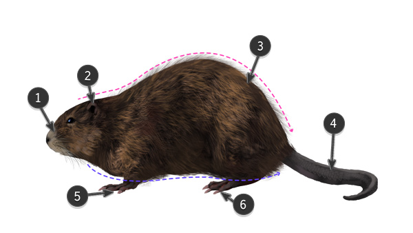 how to draw muskrat body