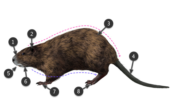 how to draw nutria body