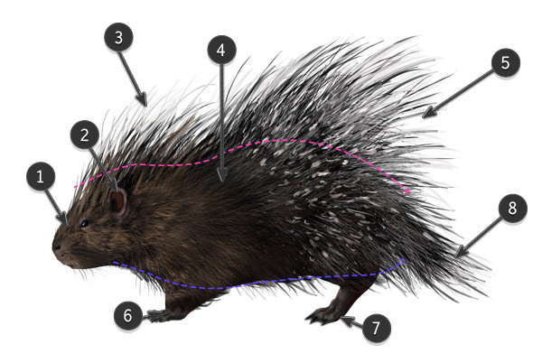 how to draw african crested porcupine body