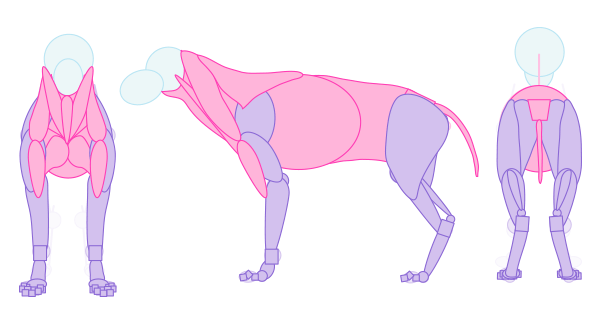 simplified wolf muscle draw artist