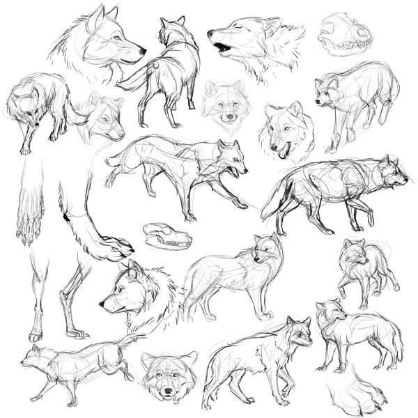 wolf study how to draw wolves