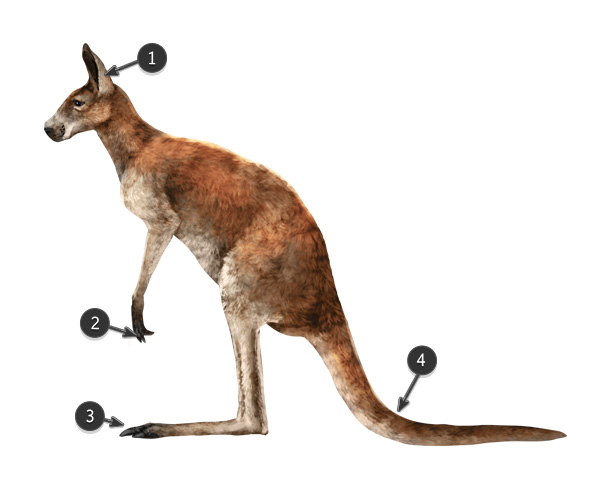 red kangaroo body