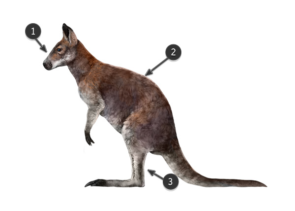 wallaby vs kangaroo