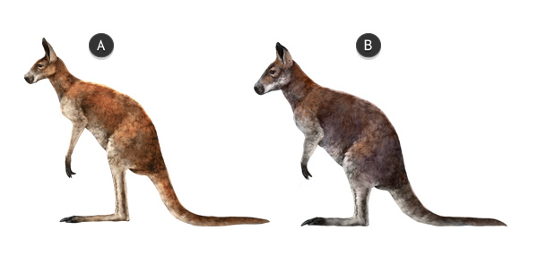kangaroo vs wallaby