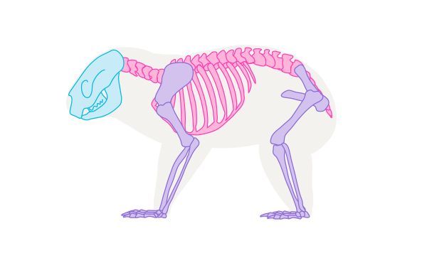 koala skeleton
