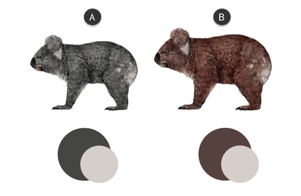 koala southern northern comparison