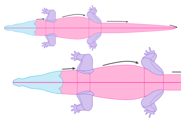 crocodile anatomy drawiing muscles body 2